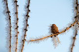 Pine cone on a frosty branch in winter. - 181679030