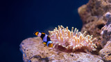 Bubble tip anemone and a clown fish - 181716408