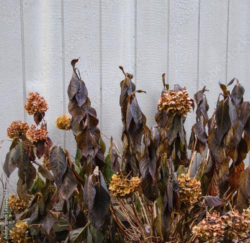 Fotobehang Hydrangea End of season hydrangeas