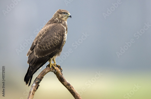 Common buzzard (Buteo buteo) Poster