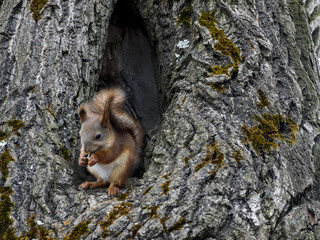 Squirrel sits in the hollow of a large tree. Squirrel house in the woods or in the Park. Squirrel eats nuts or seeds.