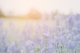 Lavender flower background - 181726824