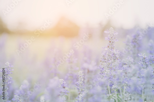 Aluminium Lavendel Lavender flower background