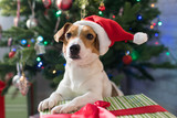 Dog breed Jack Russell under the Christmas tree - 181732225