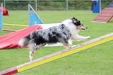 un chien shetland lors d'un concours canin d'agility