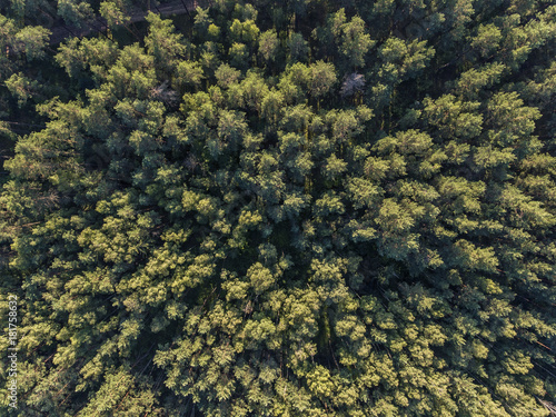 Aerial top down view over pine tree forest in Europe. Poster