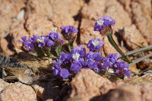Aluminium Lavendel purple beach flower