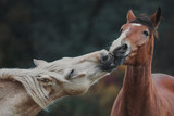 Love and kisses of horses in the herd - 181760458