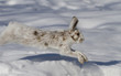 Snowshoe hare or Varying hare (Lepus americanus) running in the winter snow in Canada