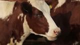 a cow in an open paddock - 181773499