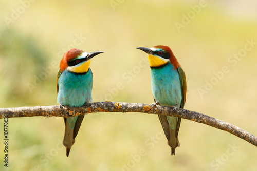 Couple of bee-eaters Poster