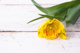 Yellow tulip, spring background for women's day - 8 march or card for mother's day