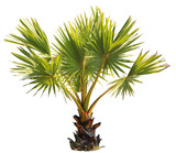 young Betel palm on isolate background and clipping path - 181798043
