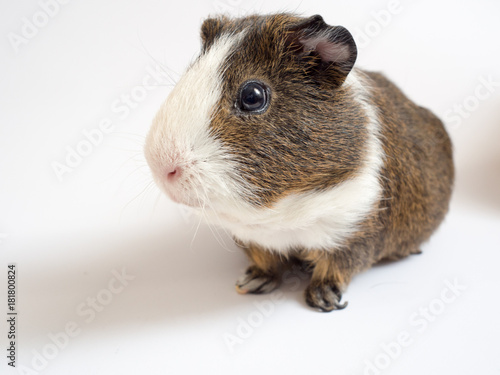 cavy, guinea, pig, animal, pet, mammal, white, rodent, cute, small, brown, hair, grass, sweet, furry, color, hairy, cavia, green, beautiful, nose, face, hamster, wild, peruvian