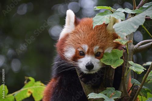 Fotobehang Panda Close up portrait of red panda on tree