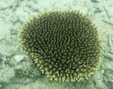Acropora coral under the sea