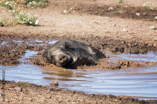 Wild boar taking a mud bath Poster