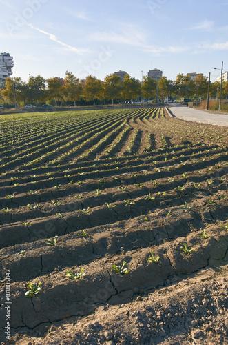 Fields of garden vegetable in Valencia, Huerta de Valencia