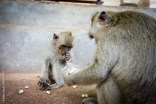 Plexiglas Aap Monkeys in Bali