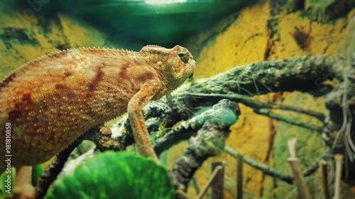 Aluminium Kameleon Fish