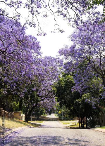 Staande foto Lavendel Street of beautiful purple vibrant jacaranda in bloom. Spring in South Africa. Pretoria.