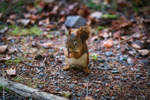 Foto op Canvas Canada Squirrel