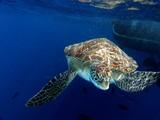 Hawksbill Sea Turtle, Similan Islands, Andaman Sea, Thailand, Underwater photograph - 181820254