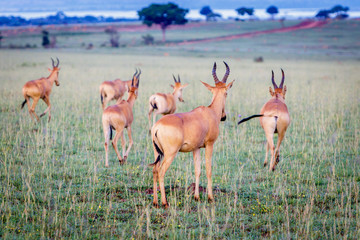 A group of Jackson hartebeest running away after taking a picture on an early morning in Murchison national park in Uganda. Too bad this place is endangered by oil drilling companies