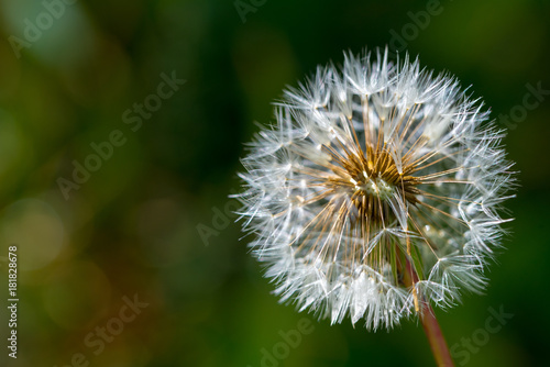 Plexiglas Paardebloemen Dandelion closeup