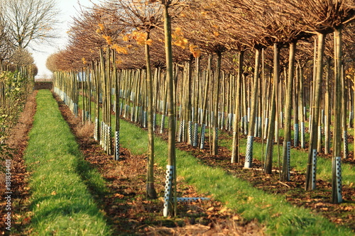 Baumschule, Bäume in einer Reihe