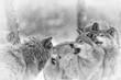 Fototapeta śnieg - Dziki -