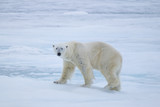 polar bear on ice flow, north of Svalbard, Norway - 181844486