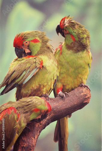 Plexiglas Papegaai Pair of colorful beautiful parrots making contact