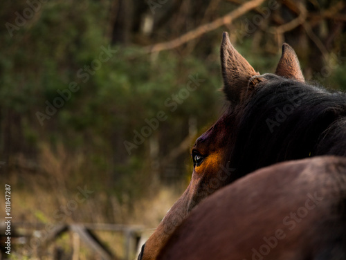 Keuken foto achterwand Grijze traf. Brown horse closeup against green grass and dark forest