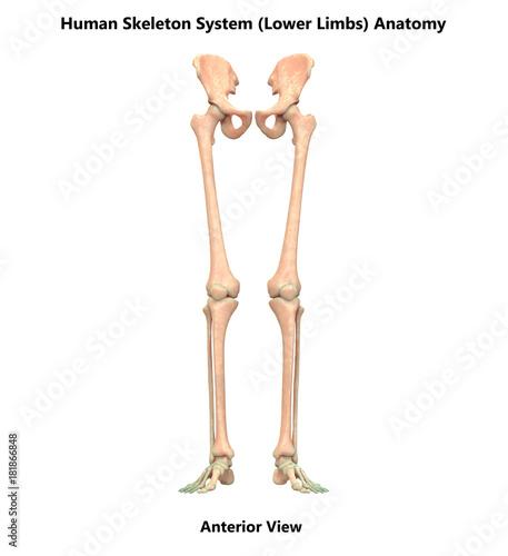 Human Skeleton System Lower Limbs Anatomy Anterior View Buy