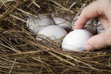 Farmer's hand taking a white egg from the straw nest. - 181888678