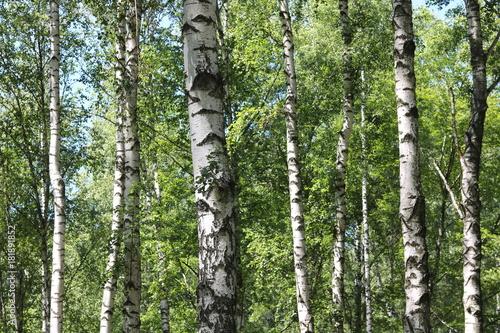 Papiers peints Bosquet de bouleaux Beautiful summer forest landscape with birches in good weather