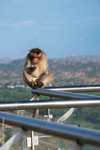 Fotobehang Aap Lone Macaque Monkey Inspects Naan Bread While Sitting on Guardrail Overlooking Hampi, India