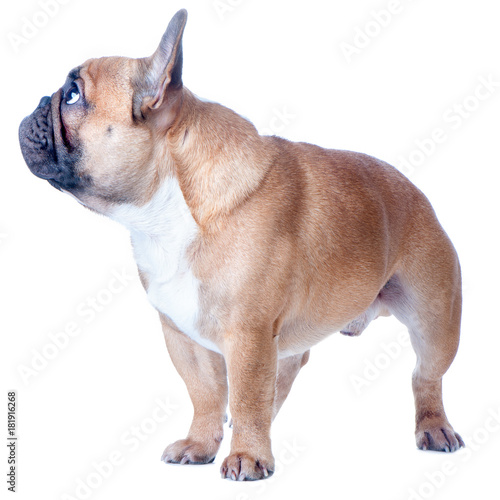 Foto op Canvas Franse bulldog Dog, beautiful French Bulldog, redhead, isolated perfect on white background. High standard of breed.