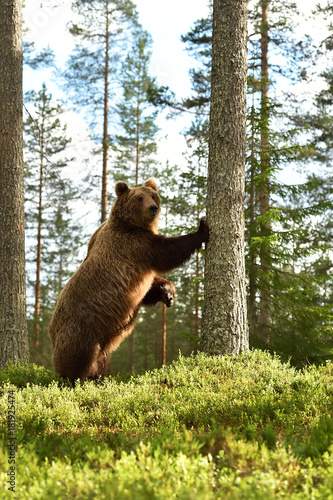 Brown bear standing. Brown bear leans against a tree. Brown bear stands upright.