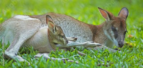 Fotobehang Kangoeroe kangourou roux