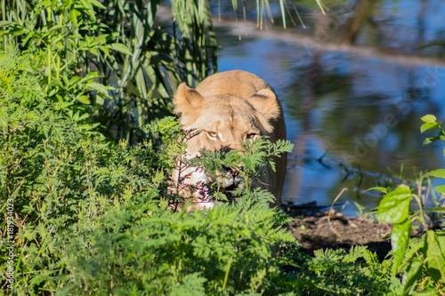 Stalking Lion Poster