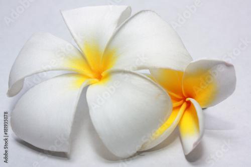 Plexiglas Plumeria Plumeria flower beautiful close up natural for aroma spa isolated on white background.