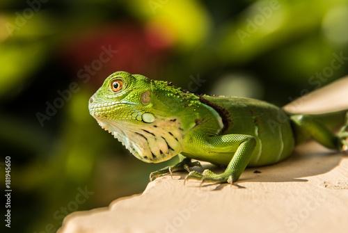 Plexiglas Kameleon Small Green Iguana On Concrete Ledge