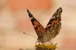 Butterfly sipping nectar from flower with wings open