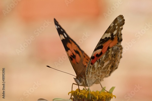 Plexiglas Vlinder Butterfly sipping nectar from flower with wings open