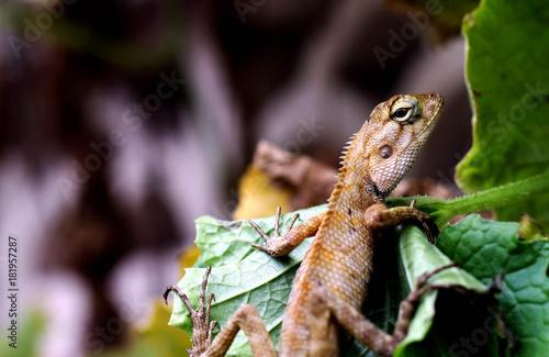 In de dag Panter chameleon