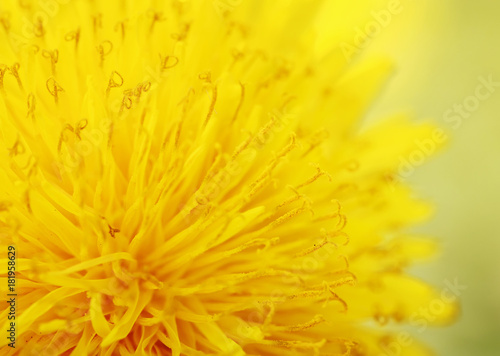 bright sunshine yellow dandelion flower is fragrant nectar closeup