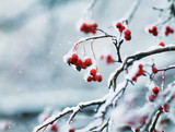 juicy red clusters of Rowan berries covered with white crystals of ice during the first snowfall - 181958877