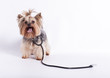 Yorkshire terrier dog York